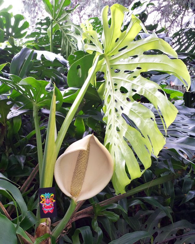 Philodendron flower and leaf in the Mexican jungle.