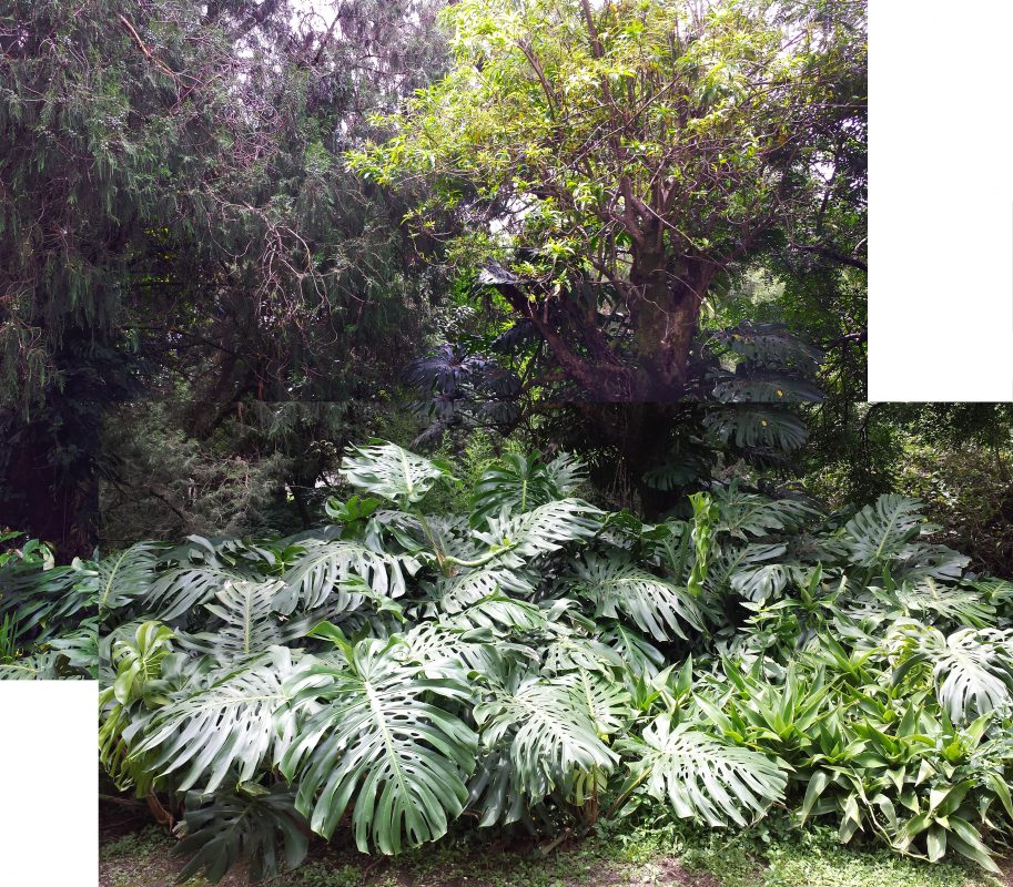 Philodendron in all its glory. The large leaves on the left about 30 inches across, the average leaves are about 24 inches across. In the centre back you can see the vine is climbing up a tree. (Click the photo for a larger file to pan across.)