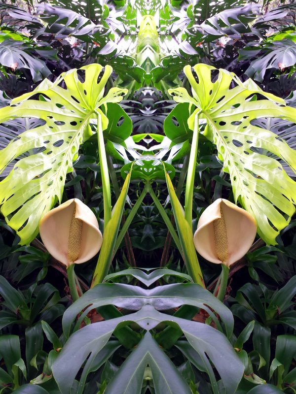 Philodendron with flowers