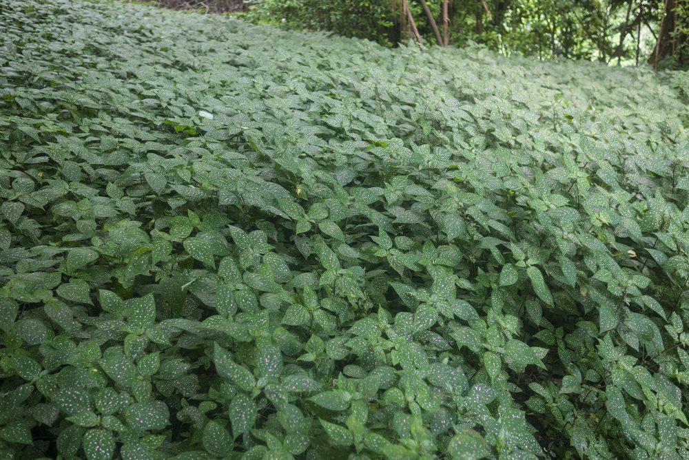 polka dot plant, Hypoestes phyllostachya